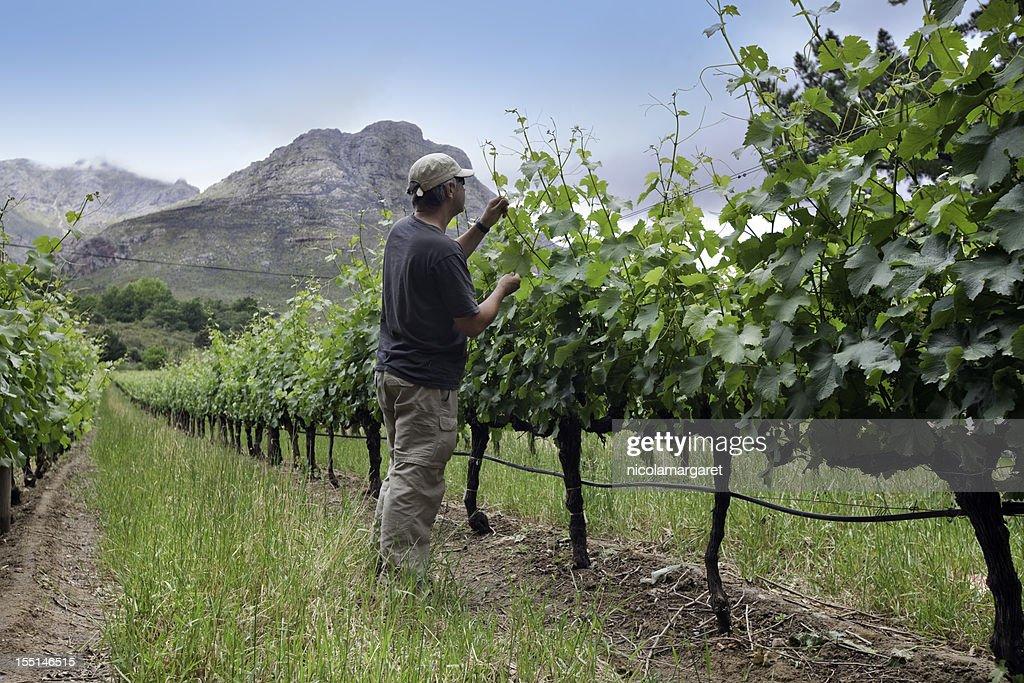 Farmer tending vines, South Africa : Stock Photo