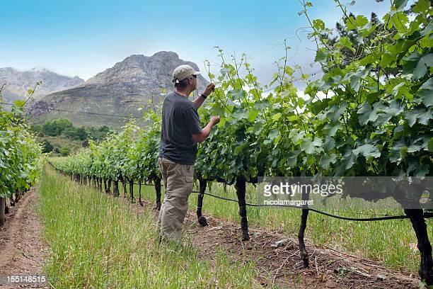 Farmer tending vines, South Africa