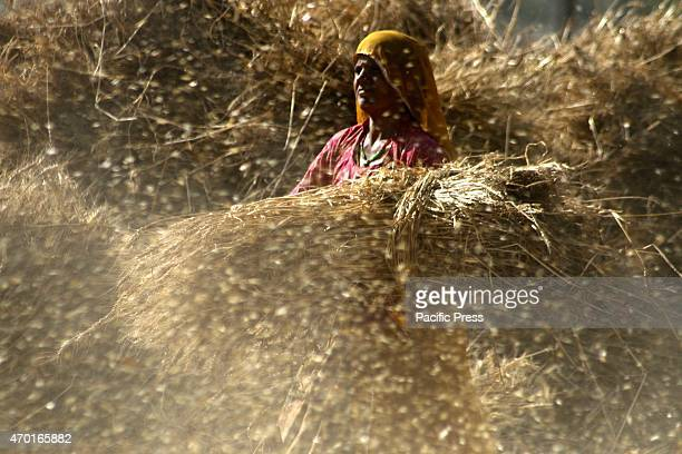 Farmer thrashing harvested wheat crop at a village on the outskirts of Beawar
