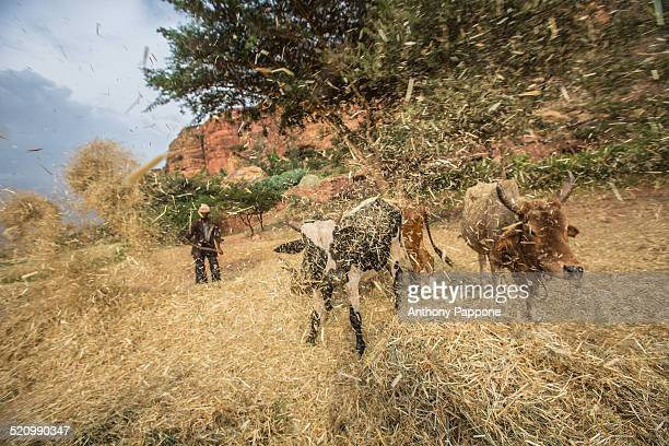 Farmer throw wheat straw into the breeze