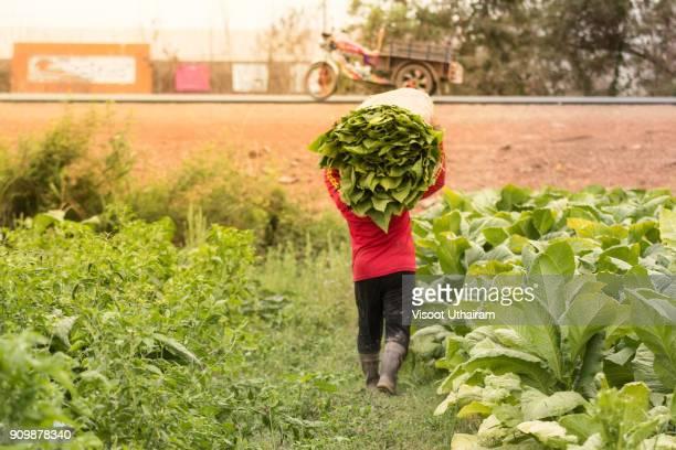 farmer tobacco harvest tobacco in the farmland. - tabakwaren stock-fotos und bilder