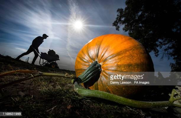Farmer Tom Hoggard harvests pumpkins at Howe Bridge Farm in Yorkshire ahead of Halloween