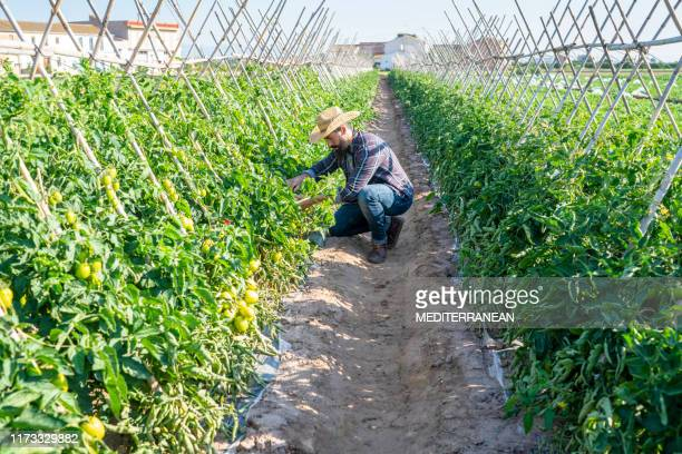 farmer tomato agriculture mediterranean - agricultural occupation stock pictures, royalty-free photos & images