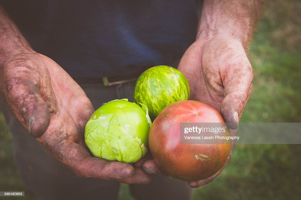 Farmer Tom's Tomatoes : Stock Photo