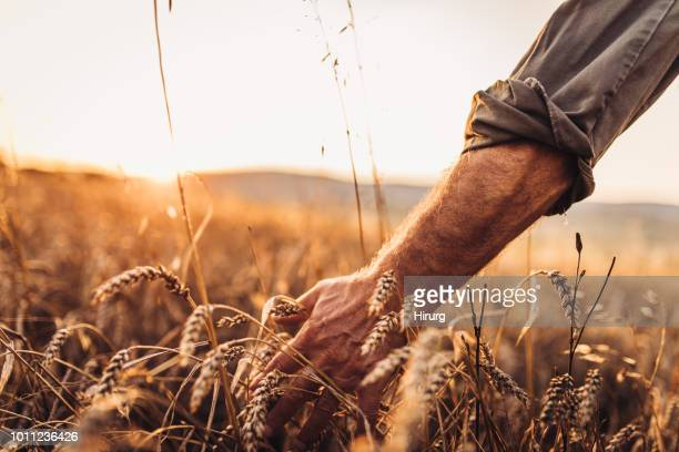 farmer touching golden heads of wheat while walking through field - campo foto e immagini stock