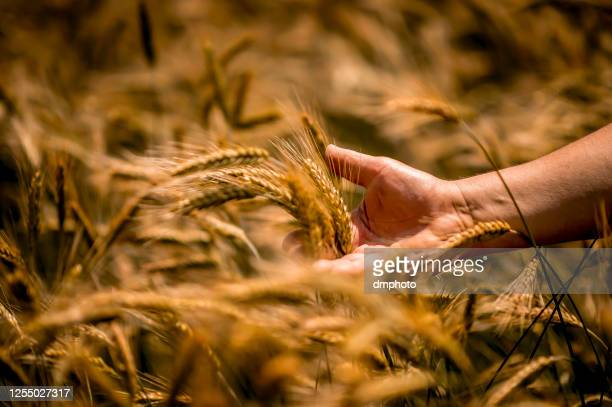 farmer touching golden heads of wheat while walking through field - abundance stock pictures, royalty-free photos & images