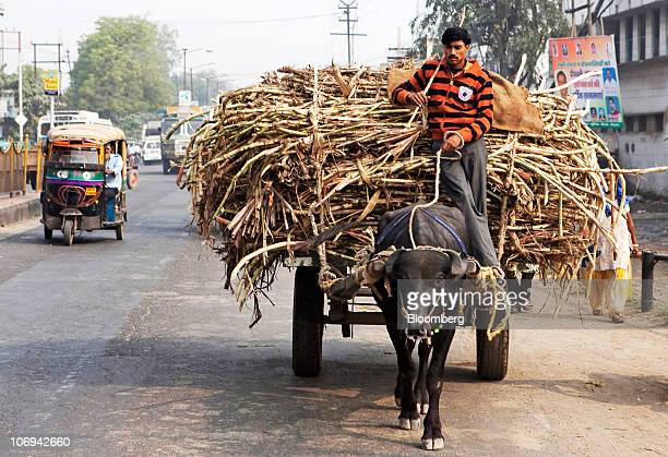 A farmer transports harvested sugar cane stalks loaded on a bullock cart near Modi Nagar in Uttar Pradesh India on Friday Nov 12 2010 Sugar...