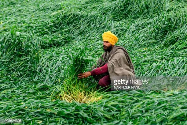 A farmer tries to arrange flattened wheat crop in a field after heavy rain on the outskirts of Amritsar on March 7 2020