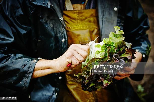 farmer trimming end of lettuce with knife in field - lettuce stockfoto's en -beelden