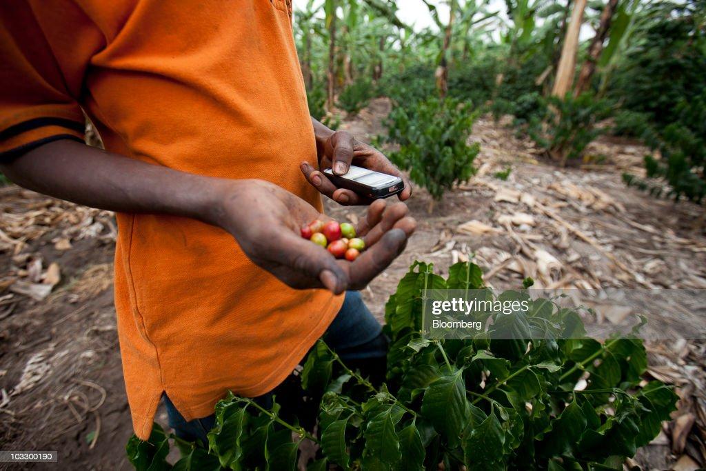 Uganda Coffee Production And Harvest : News Photo
