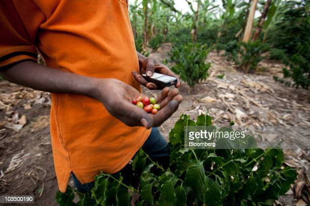 A farmer uses a mobile phone to check international coffee prices on a small scale plantation in western Uganda on Thursday July 22 2010 Uganda is...