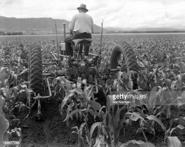 A farmer uses a tractor to cultivate his cornfield in Medford Oregon 1955