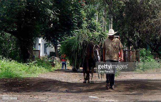 A farmer uses his horse to take fresh cut sugar cane to the mill at Colonias Seis de Enero just outside XaliscoSugar cane farmers have been recruited...