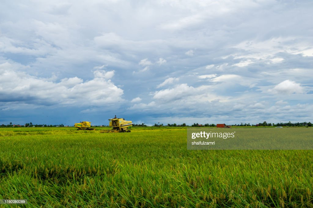 Farmer uses machine to harvest rice on paddy field at Sabak Bernam, Malaysia. : Stock Photo