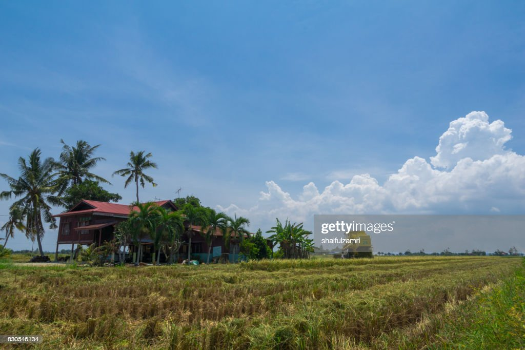 JULY 2017; Farmer uses machine to harvest rice on paddy field in Sabak Bernam. It is one of the major rice supplier in Malaysia. : Foto de stock