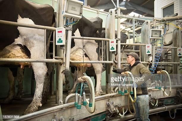 Farmer using milk cluster to milk cows in milking parlour on dairy farm