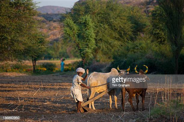 Farmer using pair of oxen to plough field for lentil crop in fields at Nimaj Rajasthan Northern India