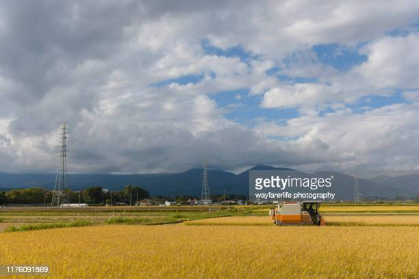 farmer using tractor to harvest rice in a rice paddy field - ファームハウス ストックフォトと画像