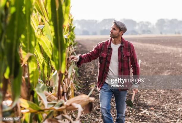 farmer walking along cornfield examining maize plants - landwirtschaft stock-fotos und bilder