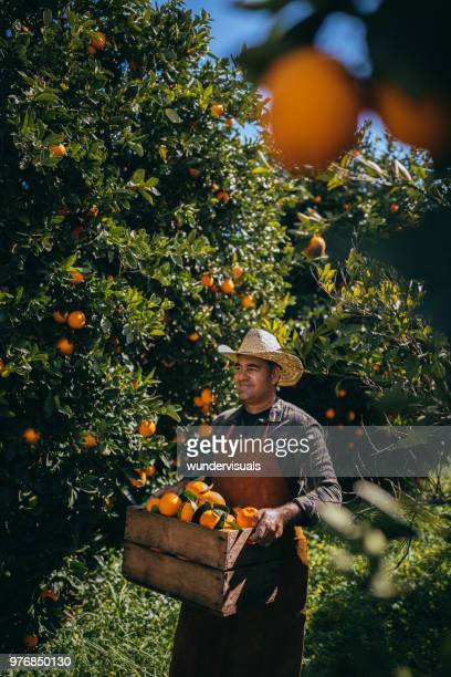 farmer walking among orange tress with basket full of oranges - orange orchard stock pictures, royalty-free photos & images
