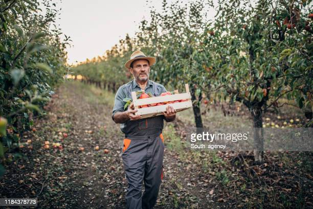 farmer walking in apple orchard - fruit tree stock pictures, royalty-free photos & images