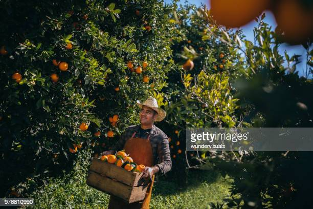 farmer walking in orange orchard during harvest period - orange grove stock photos and pictures