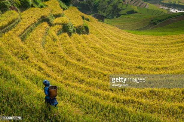 farmer walking on rice fields terraced - mù cang chải stock pictures, royalty-free photos & images