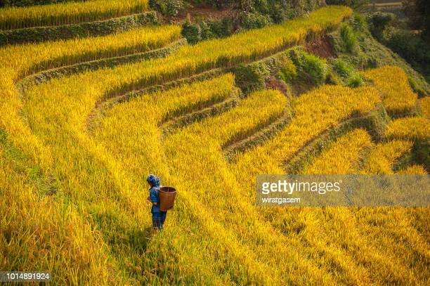 farmer walking on rice paddy fields terraced - mù cang chải stock pictures, royalty-free photos & images