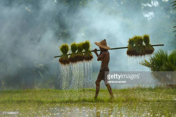 Farmer walking through a paddy field carrying rice plants, Thailand
