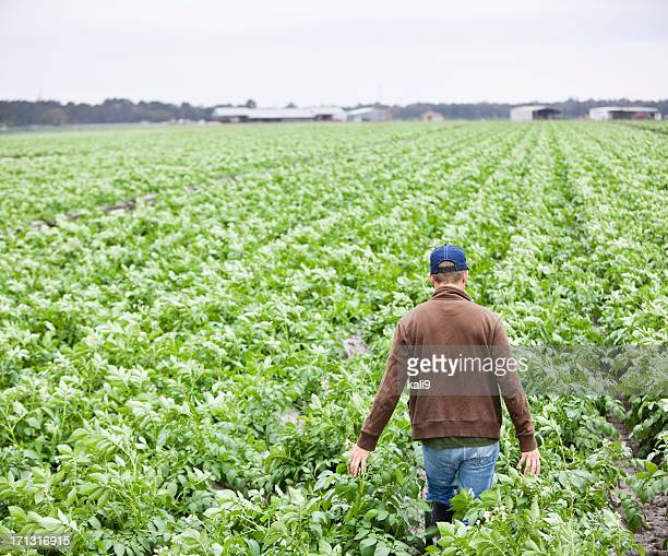 farmer walking through field of crops - rauwe aardappel stockfoto's en -beelden