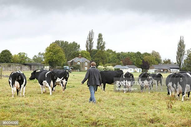 Farmer walking with cows in field