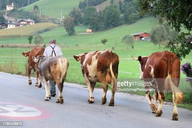 landwirt wandert kühe bayerische almabtrieb transhumance - almabtrieb stock-fotos und bilder