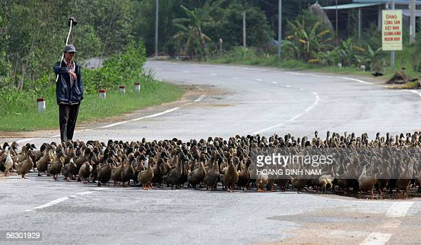 A farmer walks his family's flock of ducks accross a road in the central province of Quang Ngai 28 November 2005 One wonders how birdflu hit Vietnam...