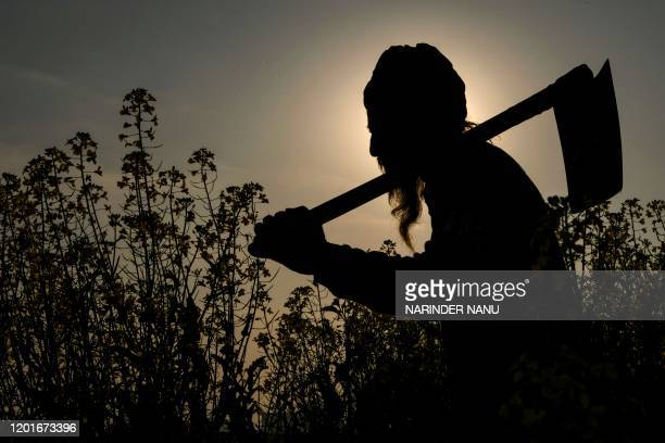 A farmer walks near a mustard field at a village on the outskirts of Amritsar on February 18 2020