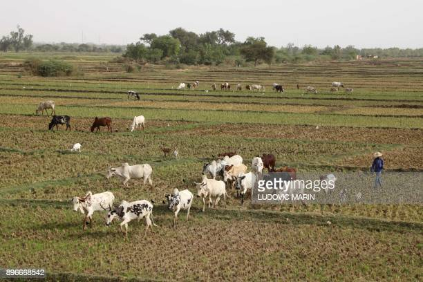 A farmer walks with his cows in a field near the Niger River on December 21 in Niamey / AFP PHOTO / LUDOVIC MARIN