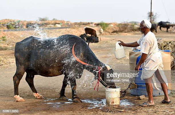 Farmer washes his buffalo at the cattle camp at Palwan on May 8, 2016 in Beed, India. The camp is operational for more than eight months with about...