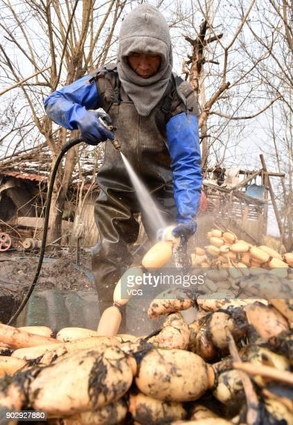 A farmer washes lotus roots on January 8 2018 in Chaohu Anhui Province of China The harvest season for lotus roots comes and local farmers dig lotus...