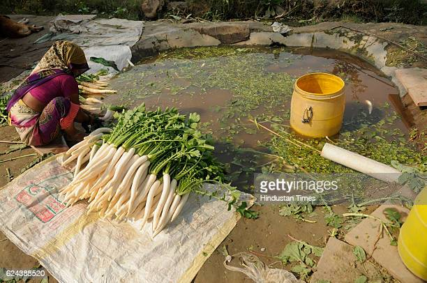 A farmer washing radishes after harvesting on November 19 2016 in Noida India Farmers report a steep fall in vegetable wholesale prices since the...