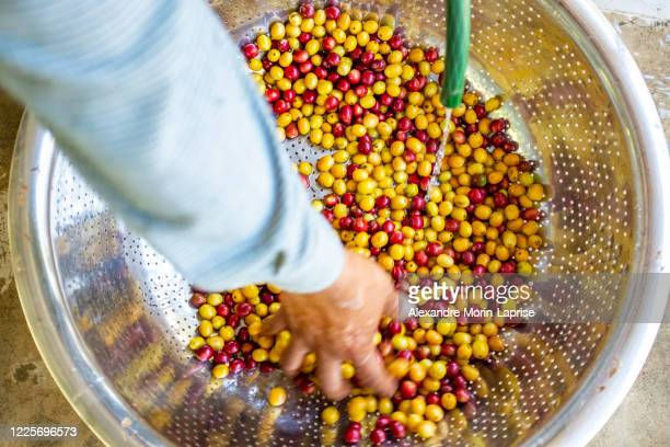 farmer washing yellow and red organic coffee fruit harvest in large stainless steel strainer in coroico, la paz / bolivia - bolivia stock pictures, royalty-free photos & images