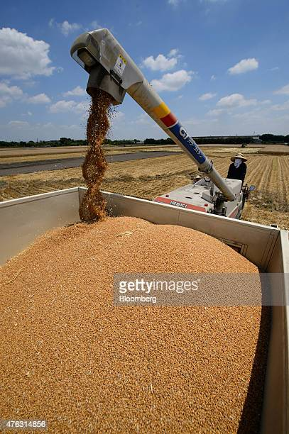 A farmer watches an Iseki Co combine harvester load a truck with wheat grain during harvesting in Chiyoda Town Gunma Prefecture Japan on Sunday June...