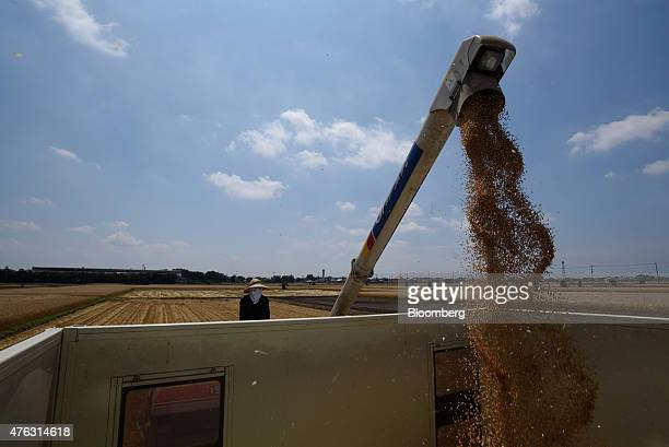 A farmer watches as an Iseki Co combine harvester loads a truck with wheat grain during harvesting in Chiyoda Town Gunma Prefecture Japan on Sunday...