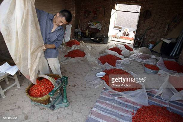 A farmer weighs newly harvested medlars at a medlar farm on July 24 2005 in Tongxin County of Ningxia Hui Autonomous Region north China Ningxia is...