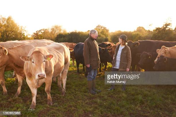 farmer who specialises in organic farming and a suckler herd - young animal stock pictures, royalty-free photos & images