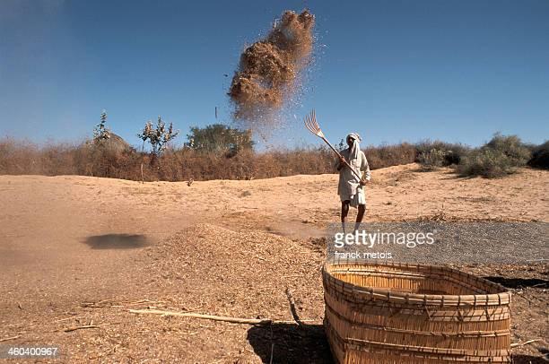 Farmer winnowing millet in the Thar desert
