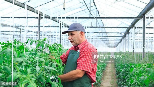 Landwirt mit apron im Gewächshaus status wird überpüft von Pflanzen