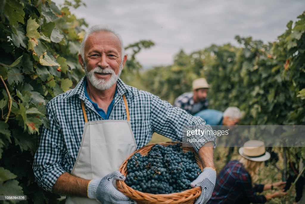 Farmer with basket full of grapes : Stock Photo
