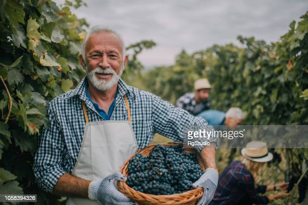 farmer with basket full of grapes - grape harvest stock pictures, royalty-free photos & images