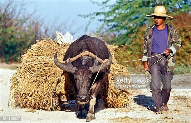 farmer with carabao - filipino farmer stock photos and pictures
