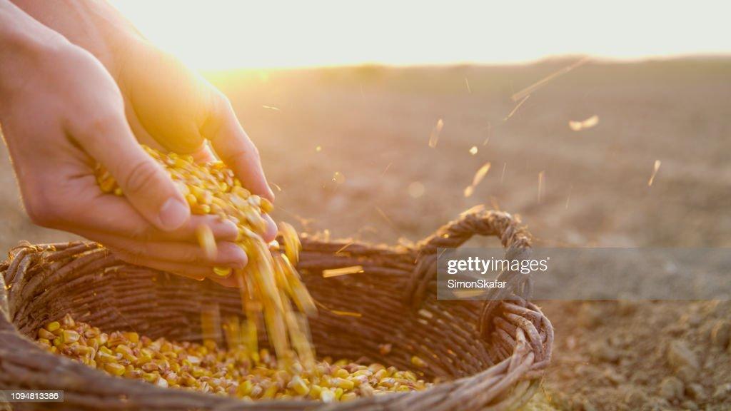農家ではバスケットにコーンの種子 : ストックフォト