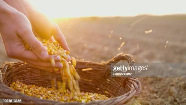 bauer mit maissaatgut in korb - pflanzensamen stock-fotos und bilder